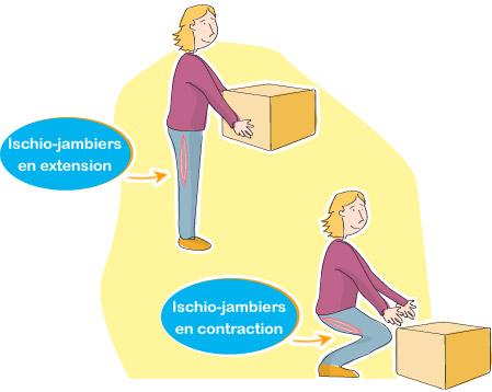 anatomie ischio-jambiers